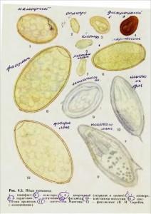 Яйца описторха, клонорха, фасциолы и других трематод,