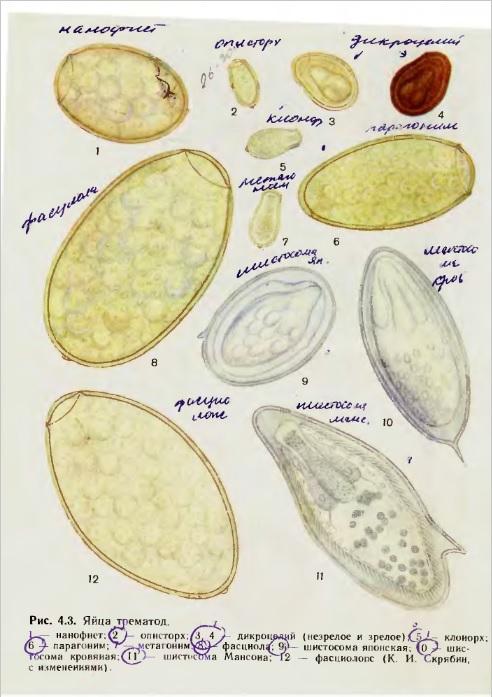Рисунки яйца гельминтов